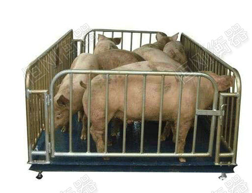 带围栏称活猪秤